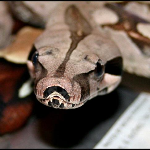 Ruby - Suriname Red Tailed Boa